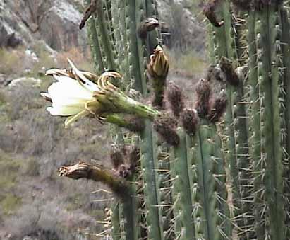 Sorte de cactus